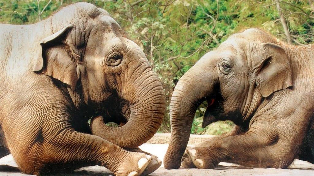Sujatha, left, and Little Mae at the Santa Barbara Zoo. (Photo: SB Zoo)