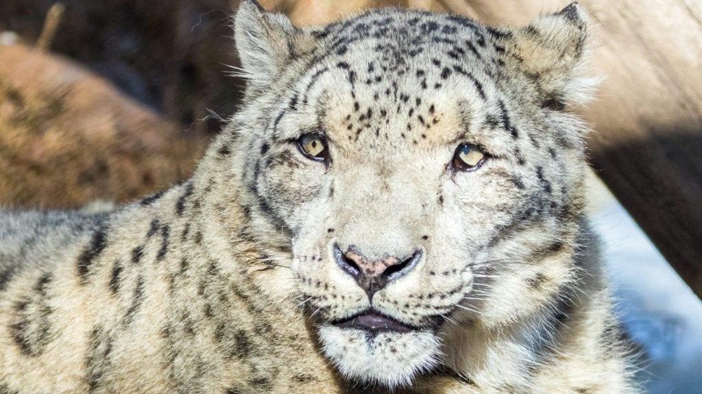 Snow leopard dies at Santa Barbara Zoo