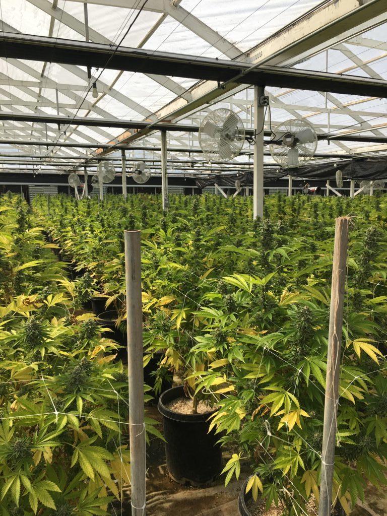 Cannabis operation