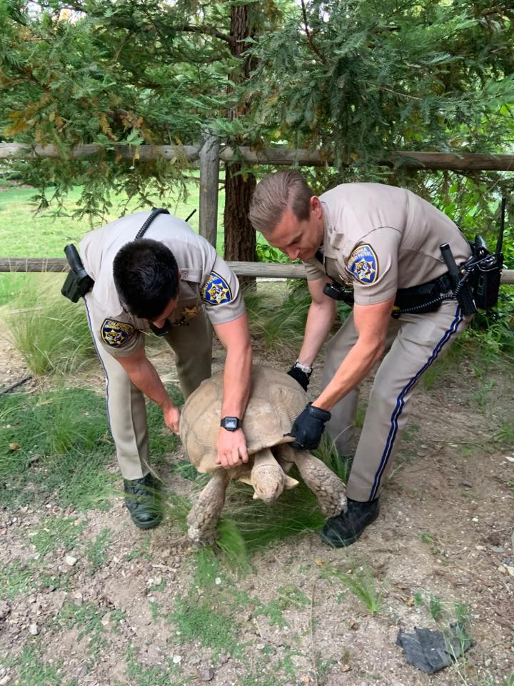 Tortoise rescue in Santa Ynez by Officers Brooks and Serleth. Photo Courtesy: CHP Buellton
